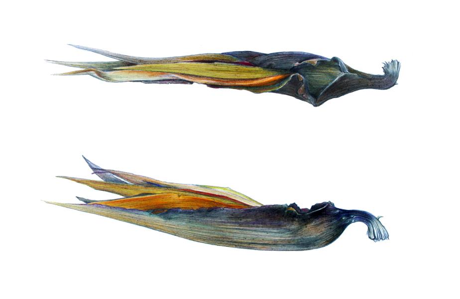 AG305861_FISHER_Strelitzia